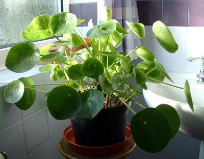 pilea_peperomioides_whole.jpg